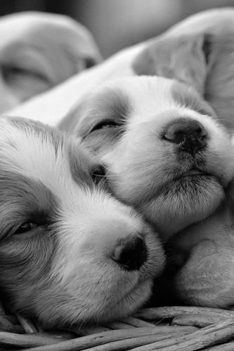 animals cute dogs nature puppy 333x500