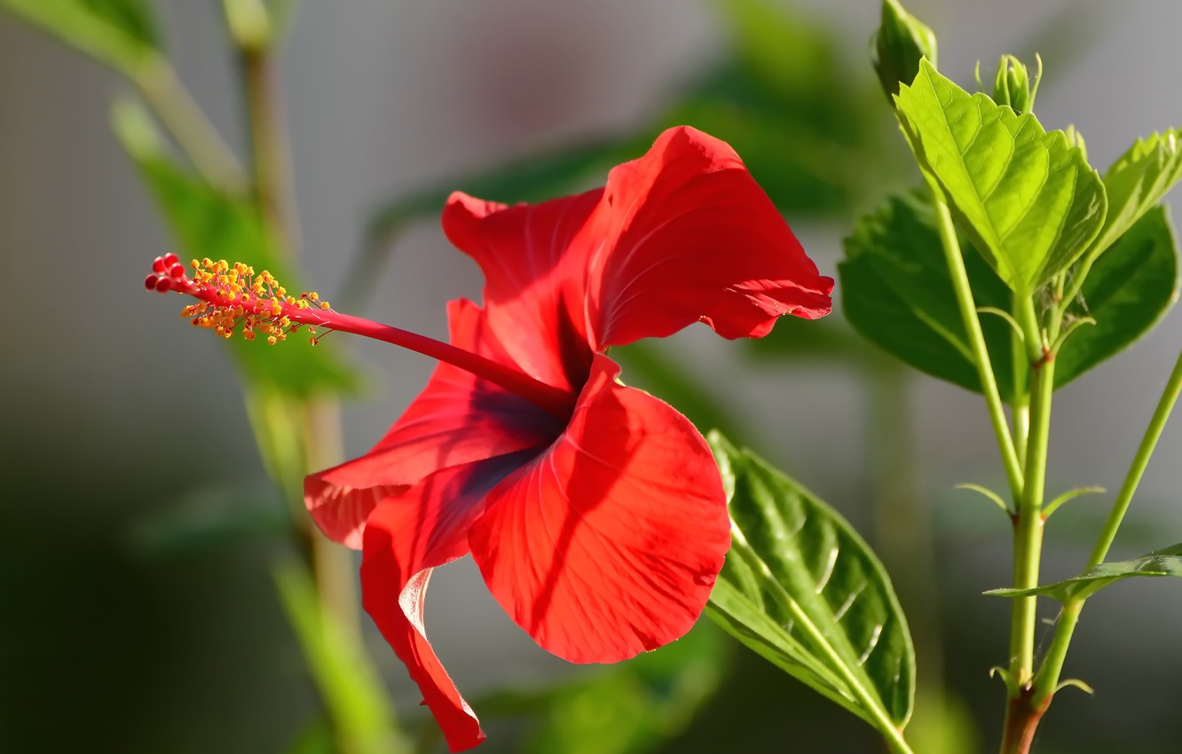 Wallpaper flower nature green style bokeh hibiscus images for 1332x850