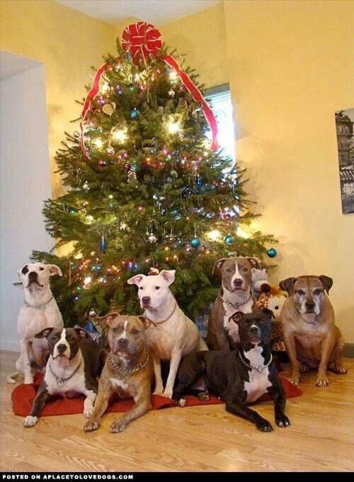 Merry Christmas Pit Bull Chat Pinterest 500x681