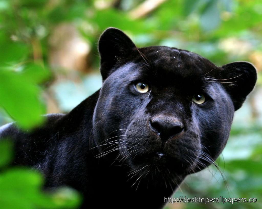 Black Panther HD WallpaperDesktop Wallpapers Download 1024x819