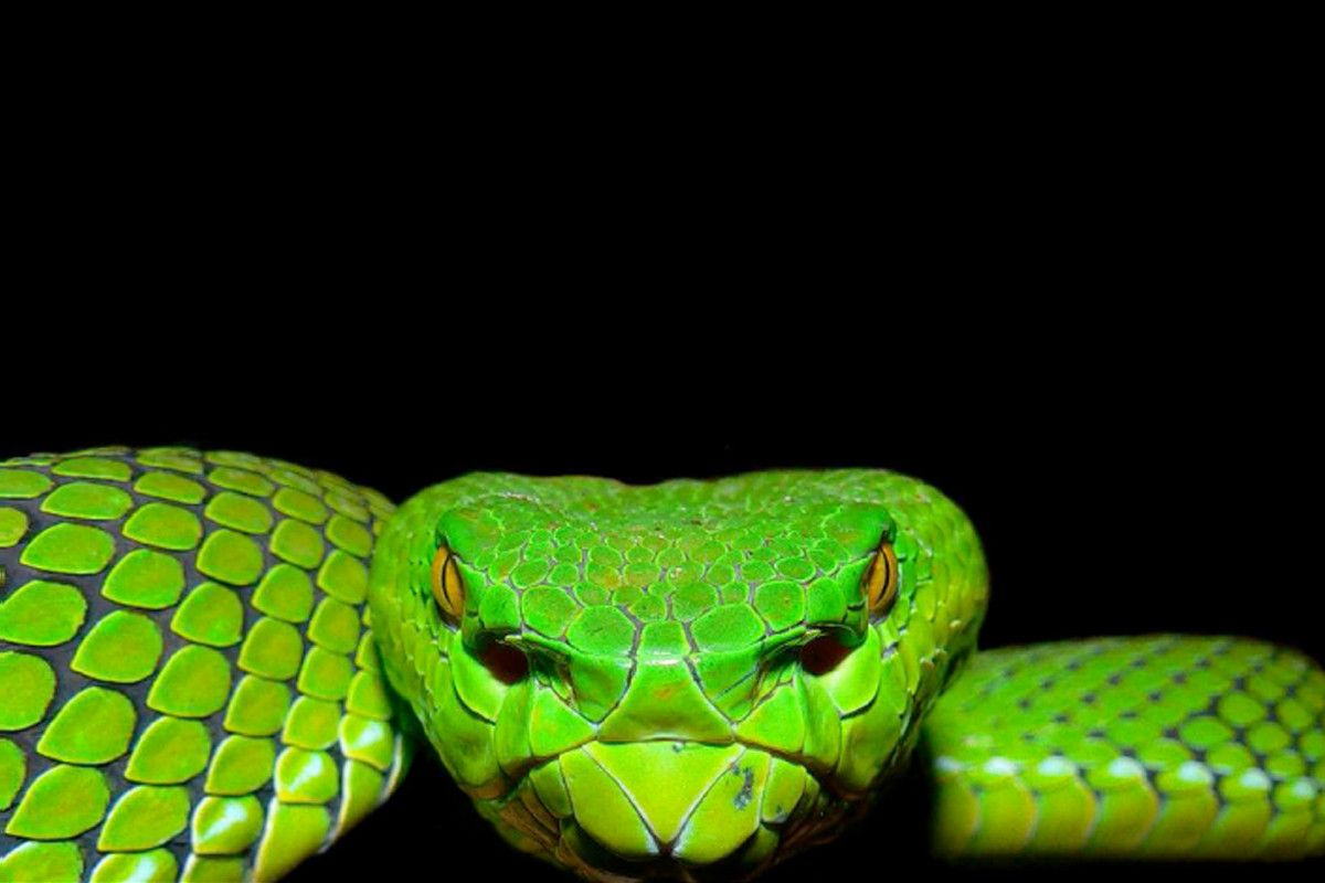 Viper Snake Wallpaper - WallpaperSafari