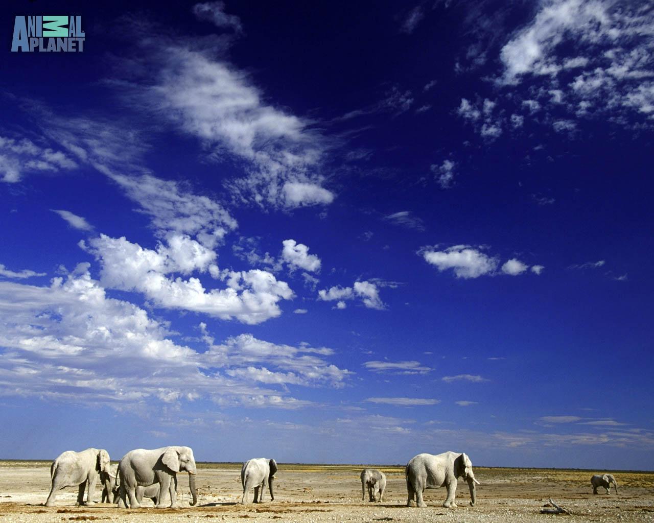 Animal Planet Wallpaper Download   elephants desert 1280x1024