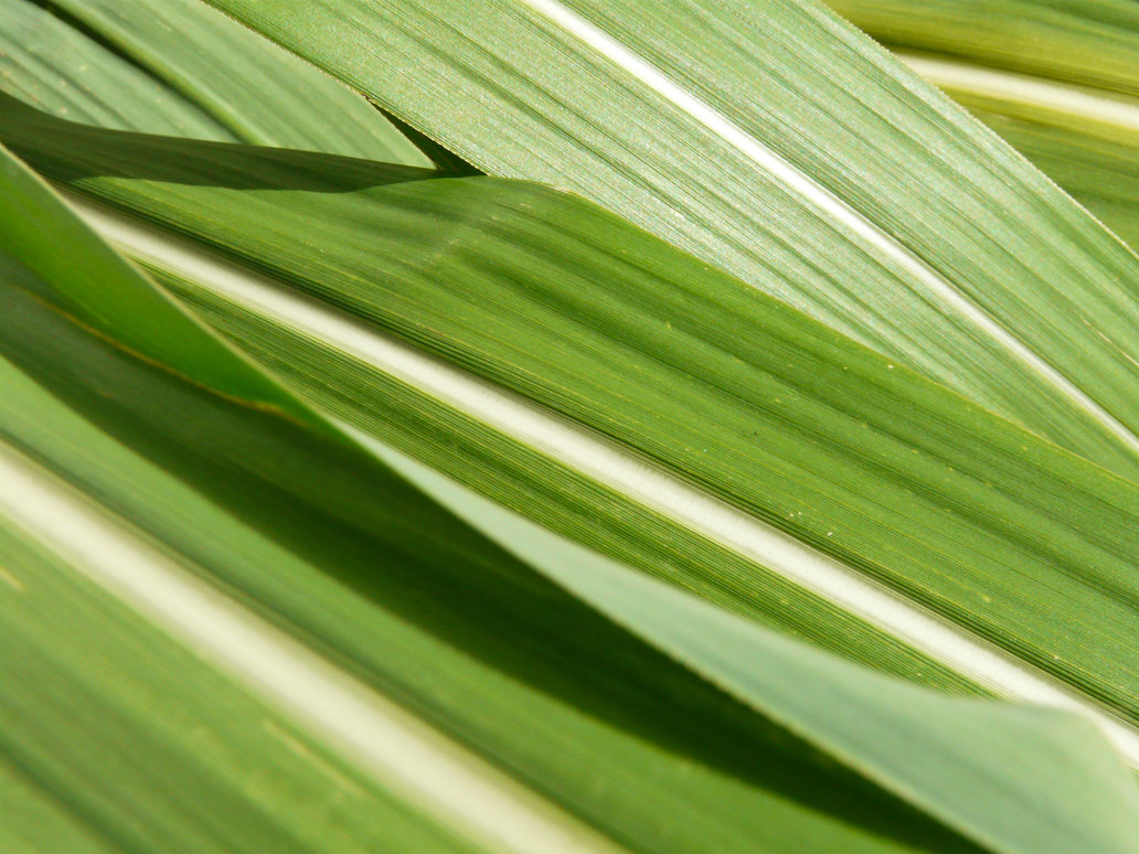 Sugar cane by brightstyle 1032x774