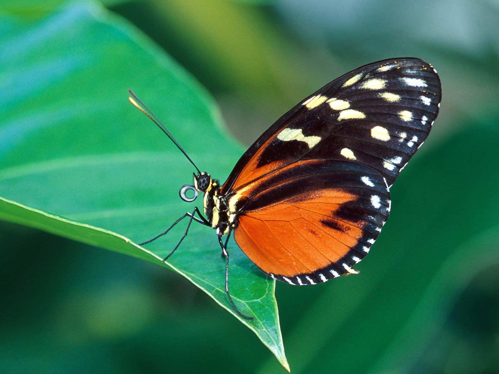 butterflies wallpaper hd butterfly wallpaper 3 1600x1200