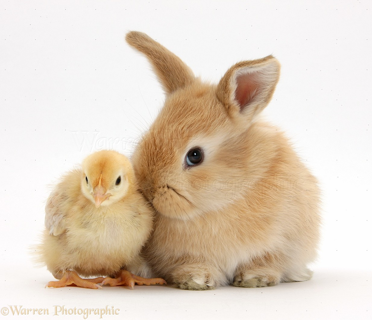Bunny and Chick Easter Wallpaper