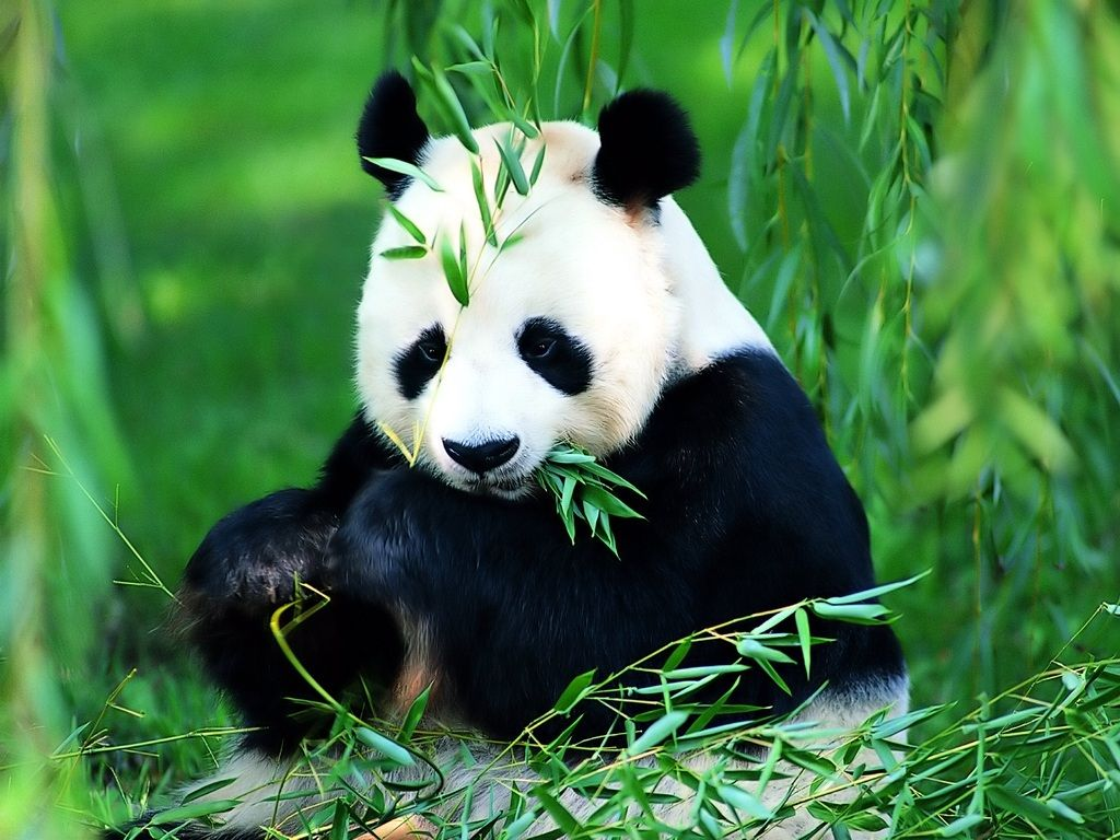 Panda Backgrounds For Desktop 1024x768 iWallHD Wallpaper HD 1024x768