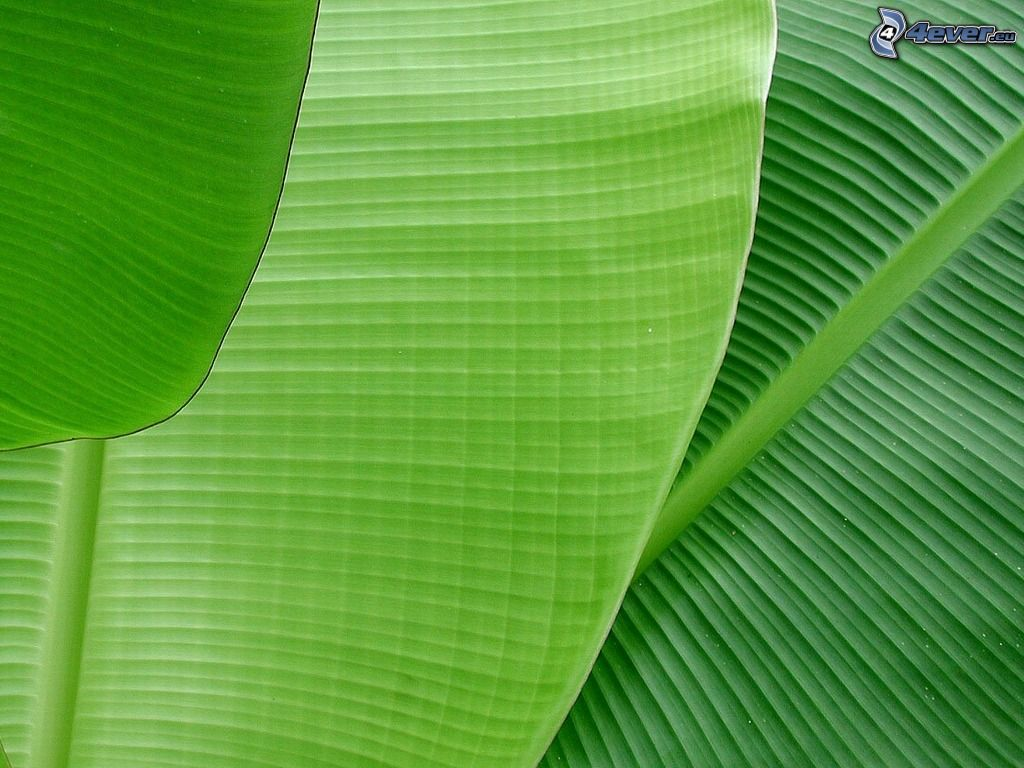 Wallpaper Hd Banana Leaf In Sea Mega Wallpapers 1024x768