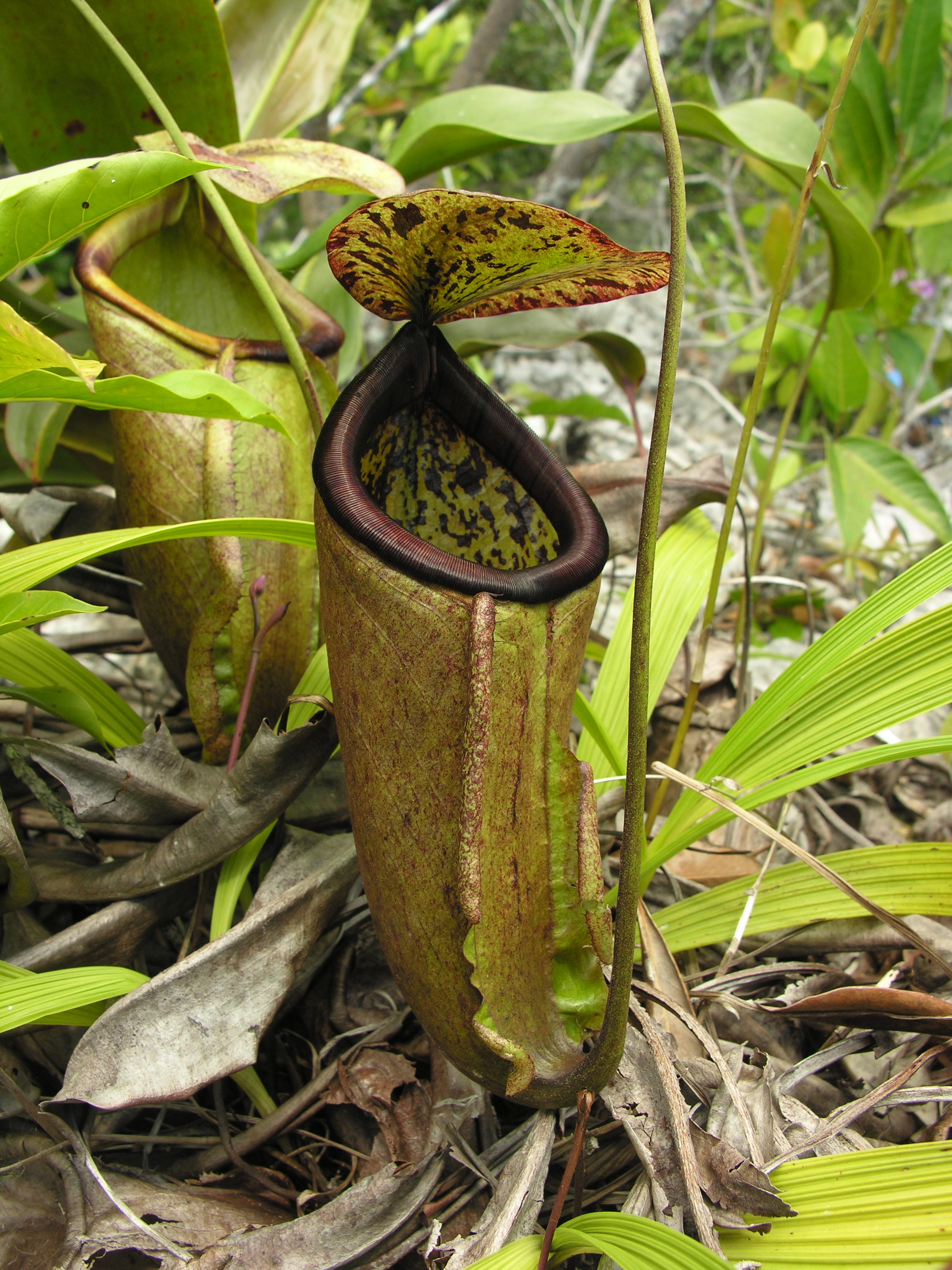 Nepenthes Attenboroughii Wallpapers High Quality Download 2448x3264