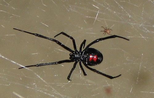 Free Download Baby Black Widow Spider Wallpaper 500x318