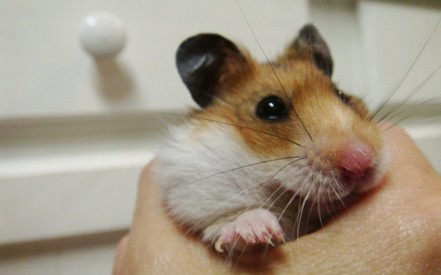 Cute Hamster 1440x900 Wallpapers 1440x900 Wallpapers Pictures 1440x900