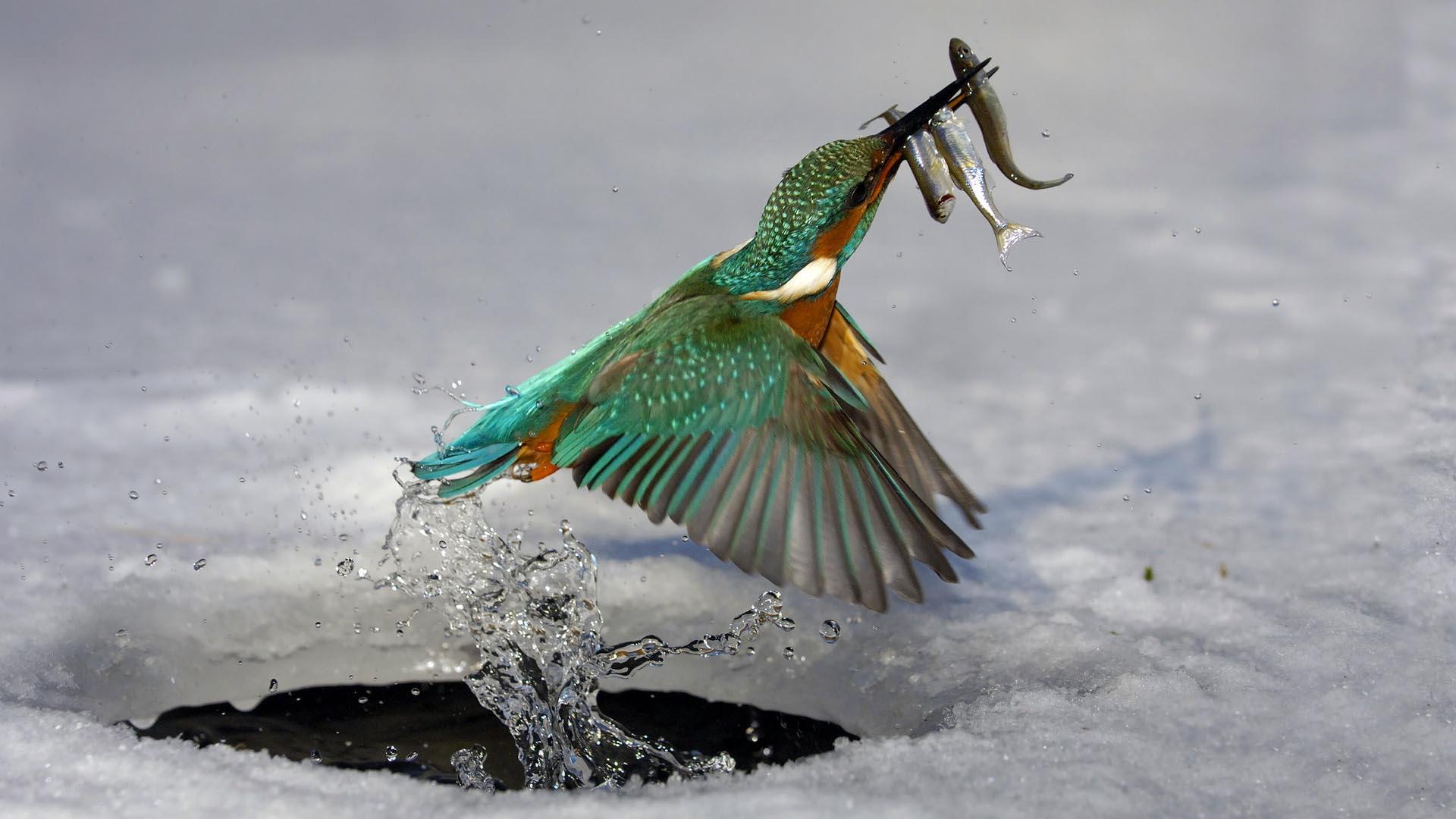Kingfisher Bird 1080p Hd Wallpaper 1920x1080