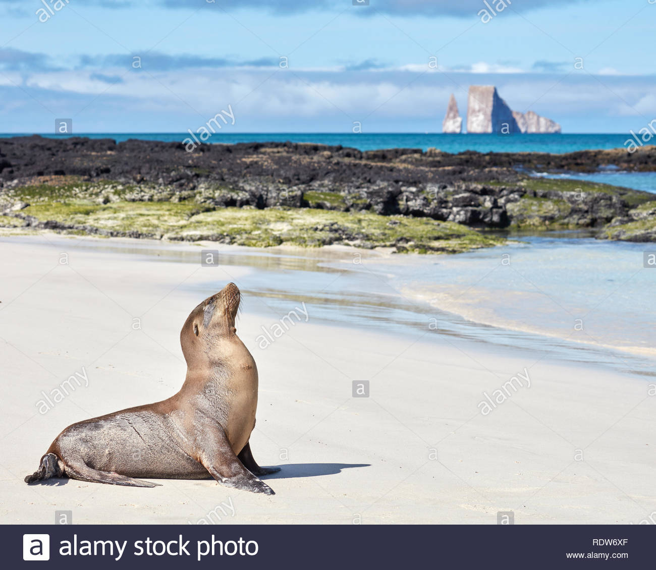 Sea Lion with Kicker Rock in Background Stock Photo 232279559   Alamy 1300x1130