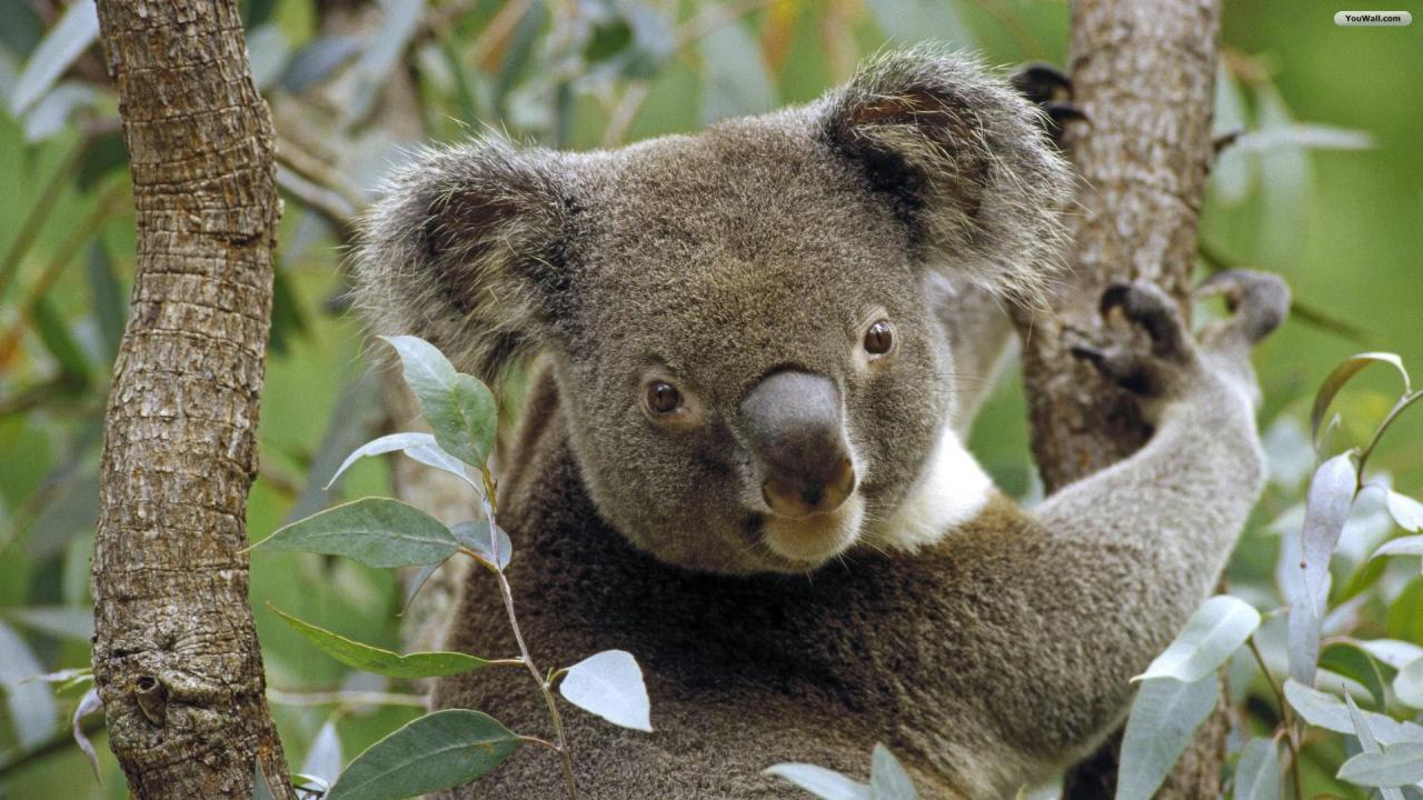 YouWall - Koala Wallpaper - wallpaper,wallpapers,free wallpaper,photo ...