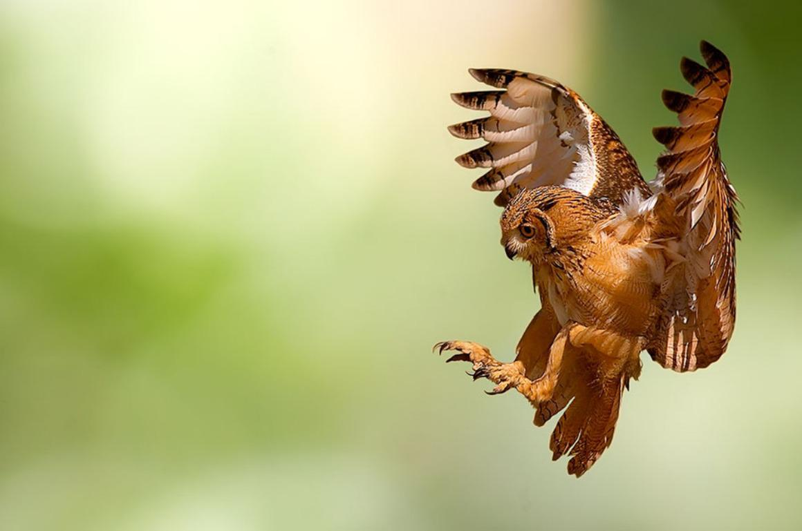 FLYING OWL WALLPAPER   106993   HD Wallpapers   [wallpapersinhqpw] 1160x769