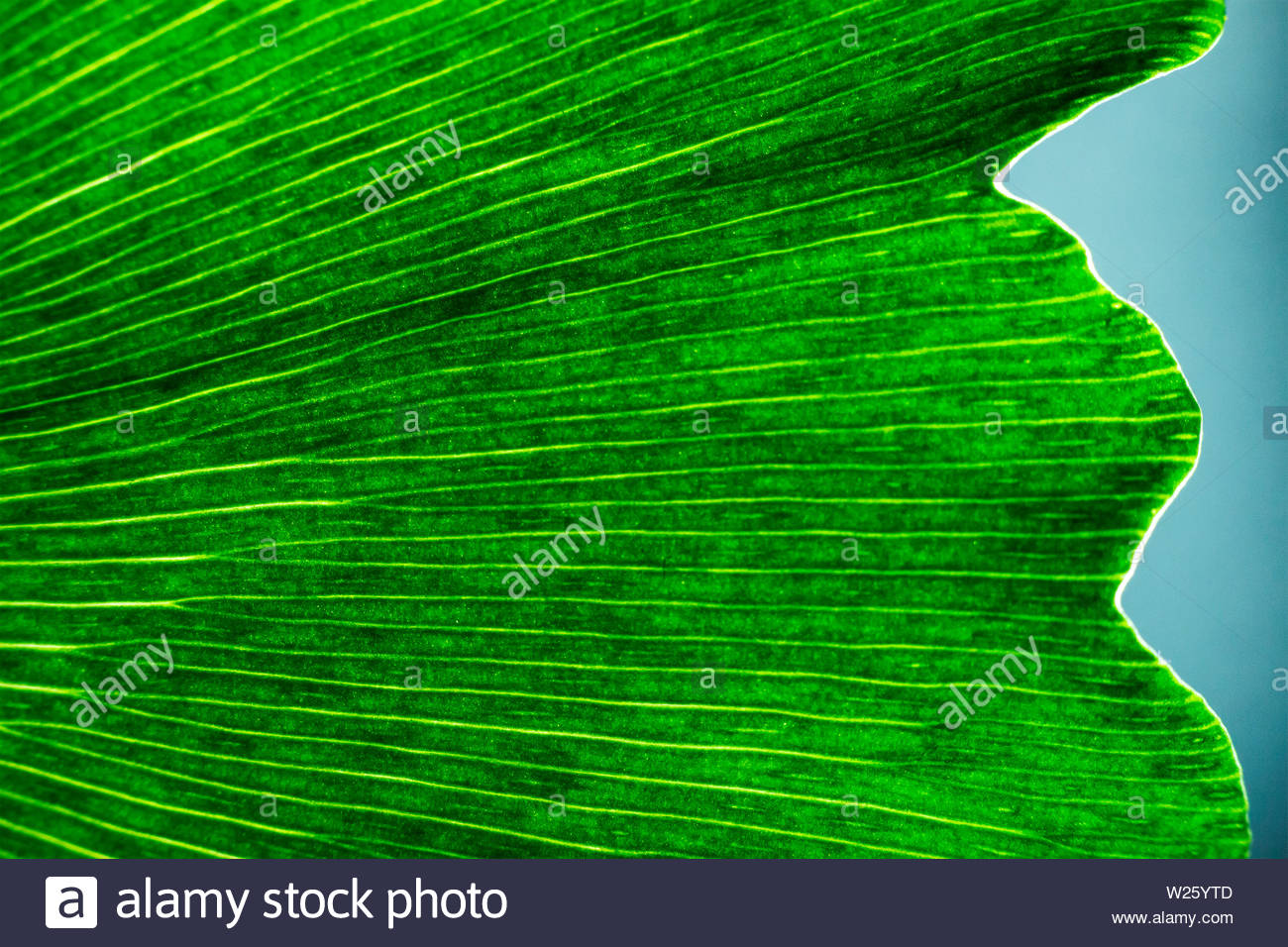 Ginkgo biloba leaf macro green eco background textured natural 1300x956