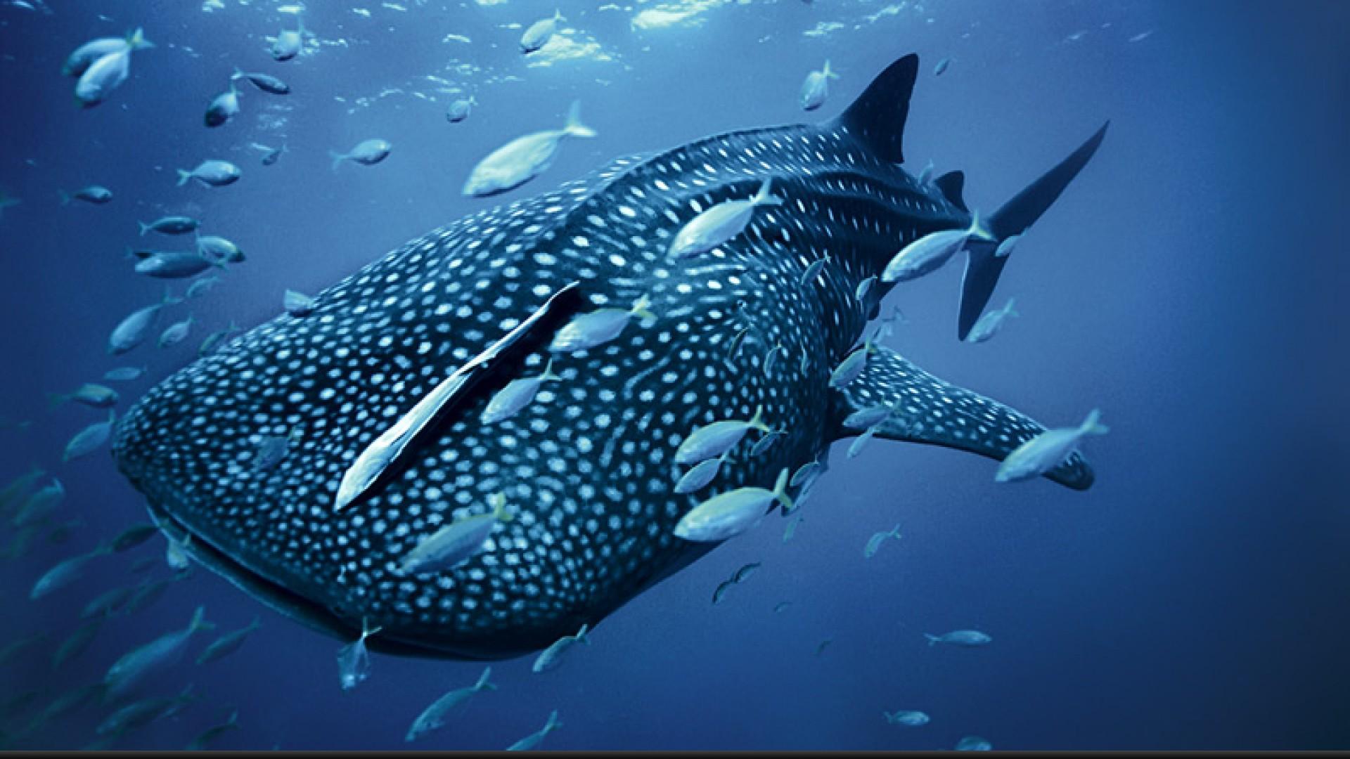 Megamouth Whale Shark HD Desktop Wallpaper HD Desktop Wallpaper 1920x1080