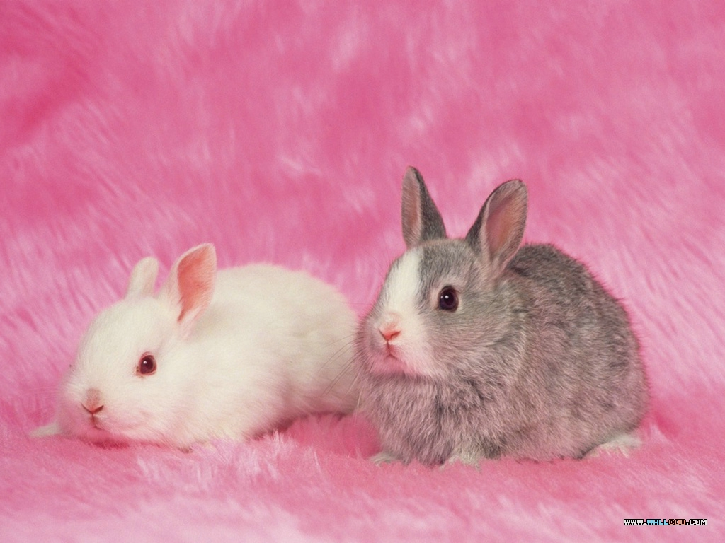 Free Download Tags Animals Bunny Rabbit Rabbit Cute Rabbit Wallpaper 1024x768 For Your Desktop Mobile Tablet Explore 46 Pink Bunny Wallpaper Baby Bunny Wallpaper Cute Bunnies Wallpaper Hd Bunny Wallpaper