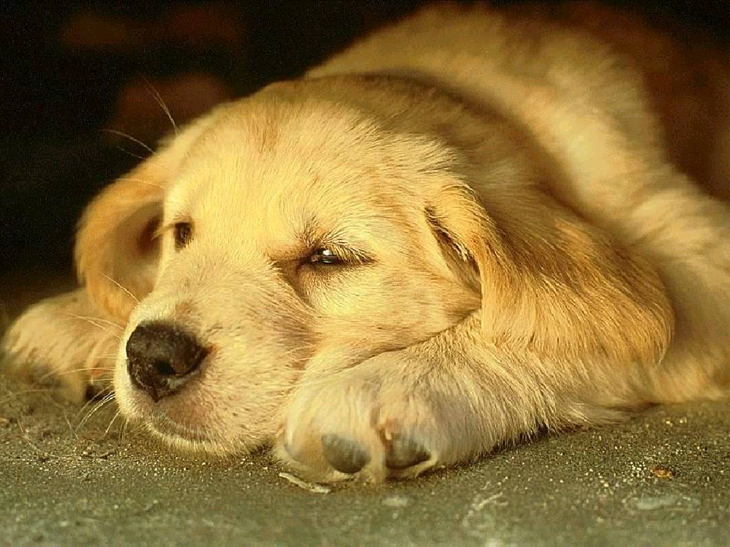 Tired Dog HD Wallpaper Slwallpapers 1024x768