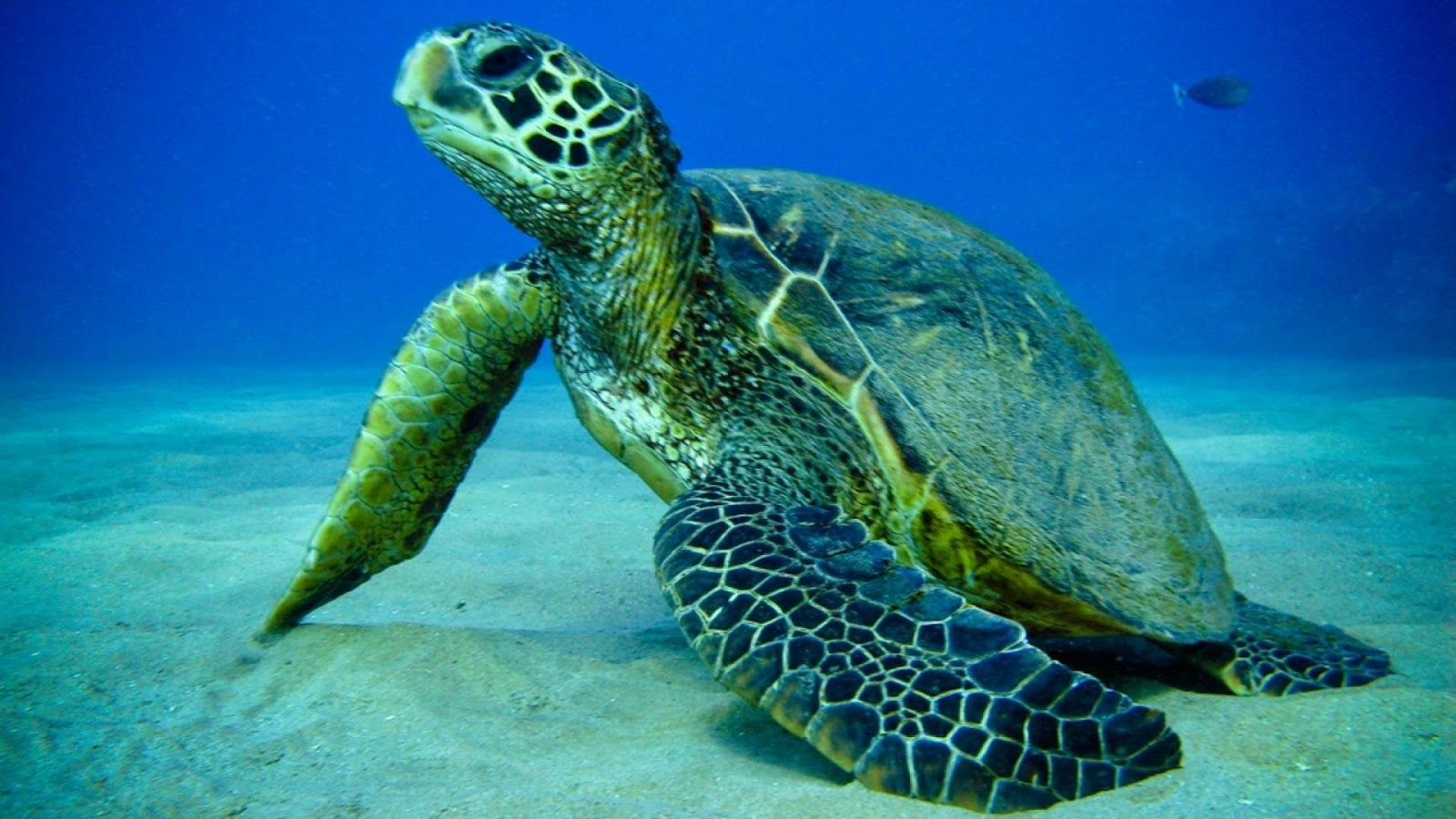 Beautiful Wallpapers Turtle hd wallpaper 1600x900