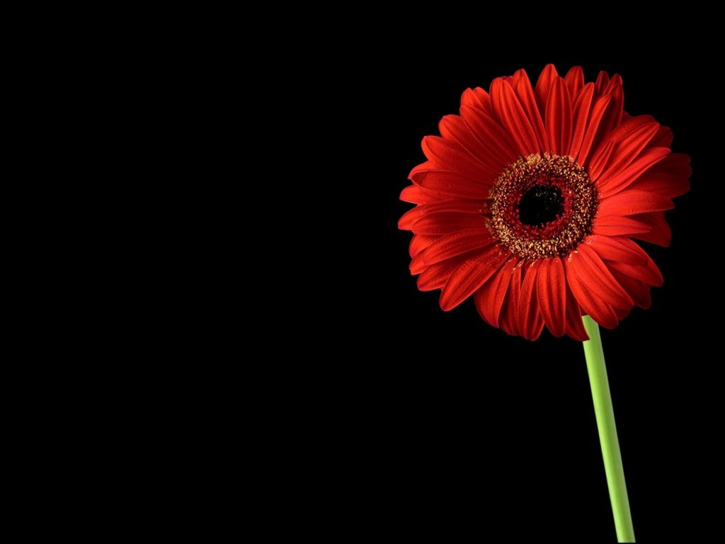 Free Download Red Flower Black Background Black And Pink