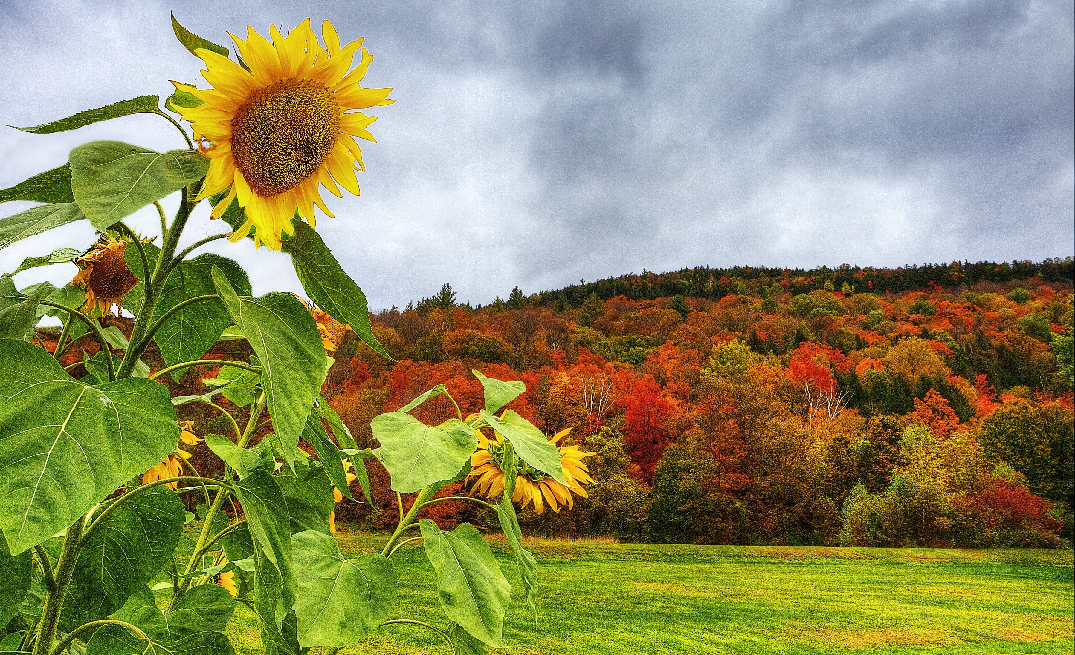 Autumn Field Forest Trees Sunflowers Landscape Wallpaper Background 3596x2193