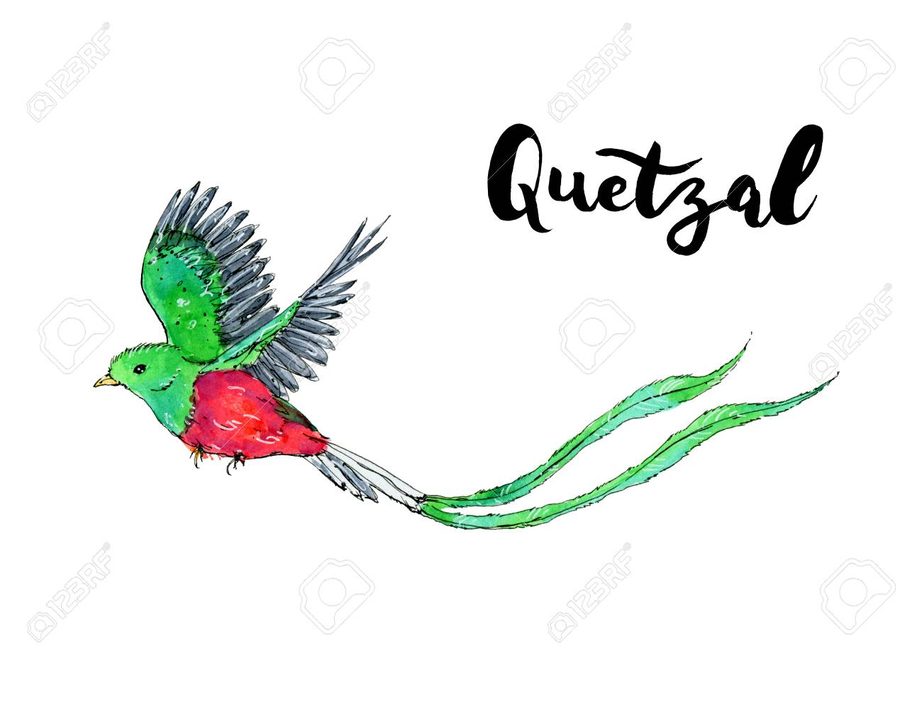 Hand Drawn Watercolor Isolated Bird Quetzal With Handwritten 1300x1000