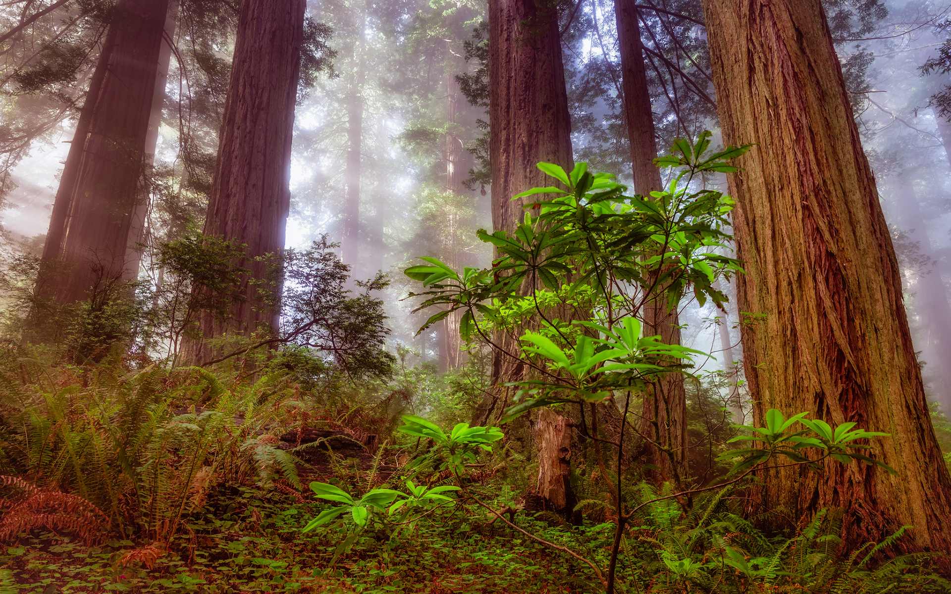 Redwood Trees Wallpaper Wallpapersafari