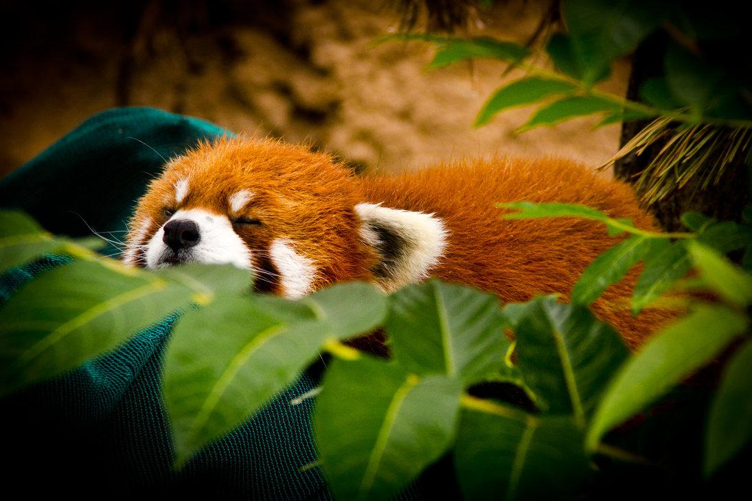 Cute Red Panda Sleeping Wallpaper HD Wallpaper WallpaperMinecom 1095x730