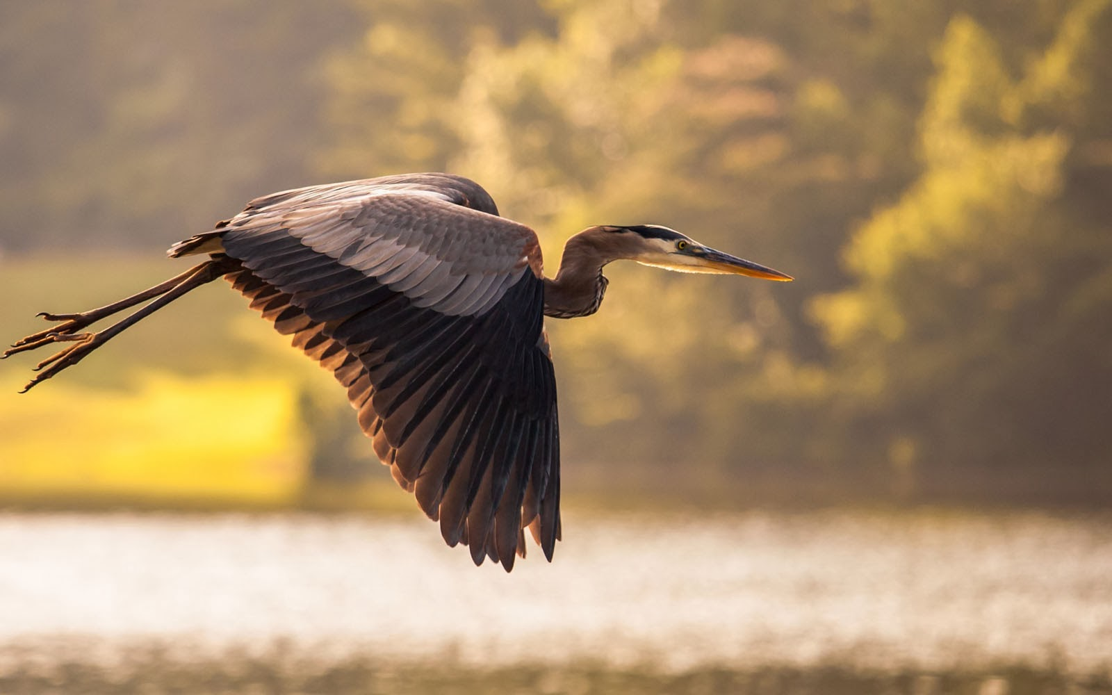 Tag Great Blue Heron Bird Wallpapers Backgrounds PhotosImages and 1600x1000