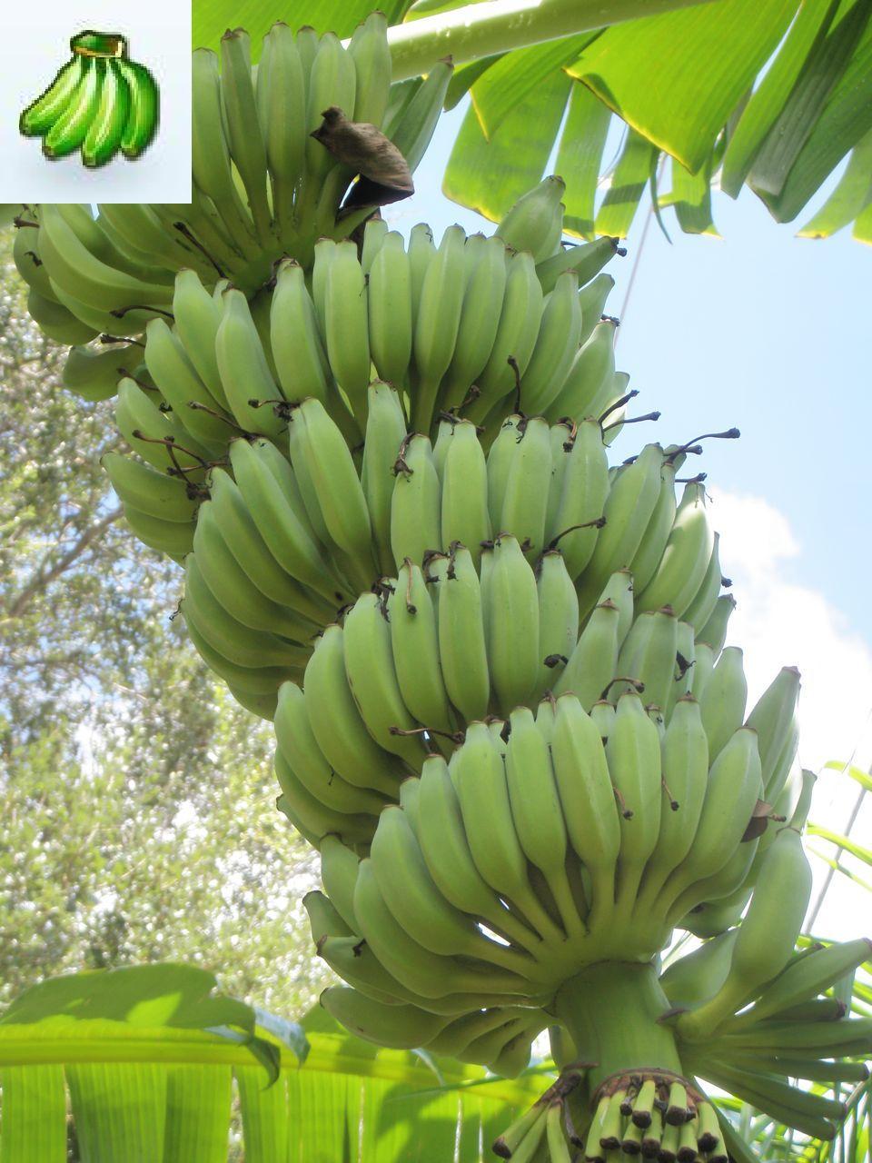 Buy Banana tree plants 960x1280