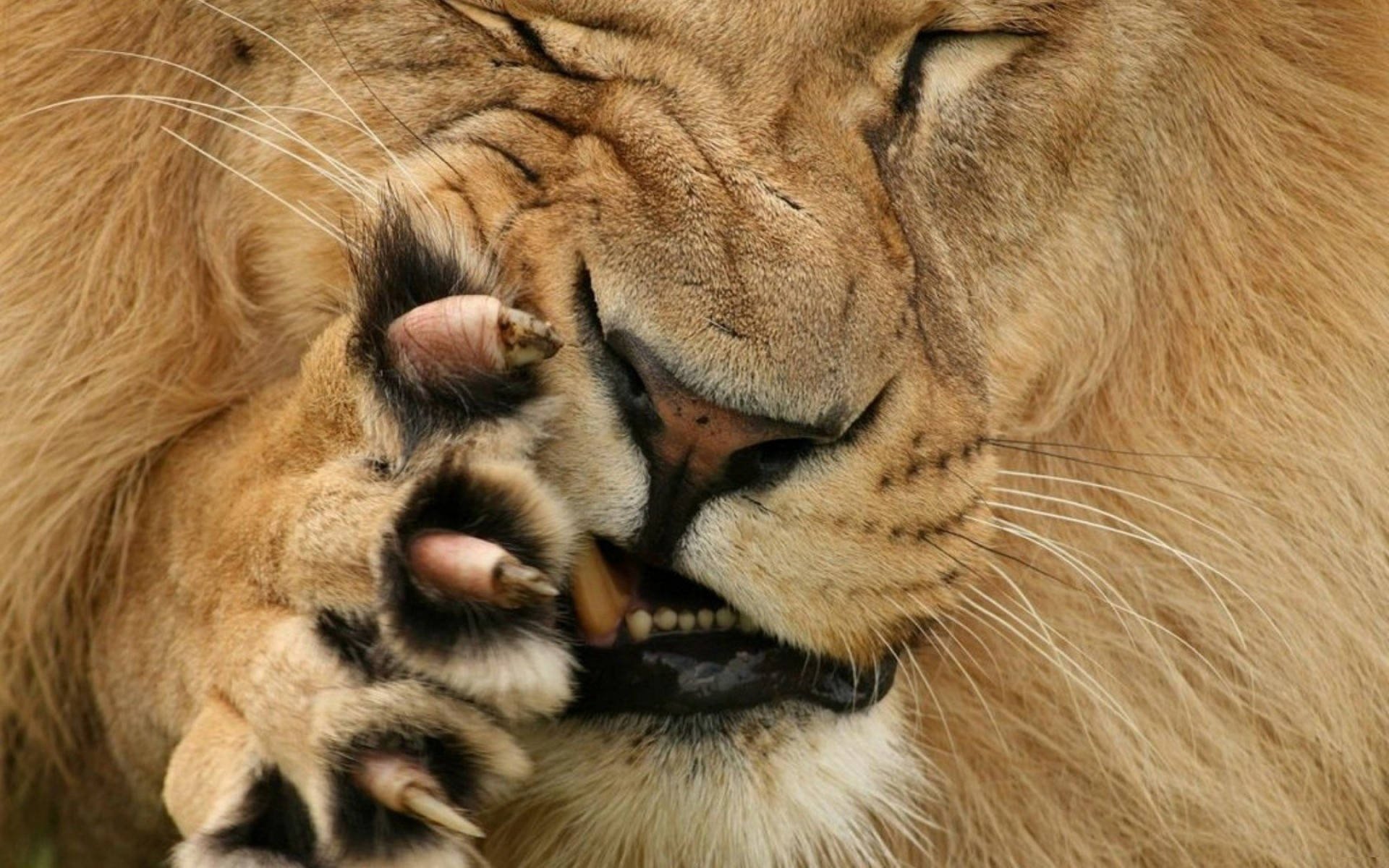 lion face Wallpaper tags grimace paw fur claws jaws fang 1920x1200