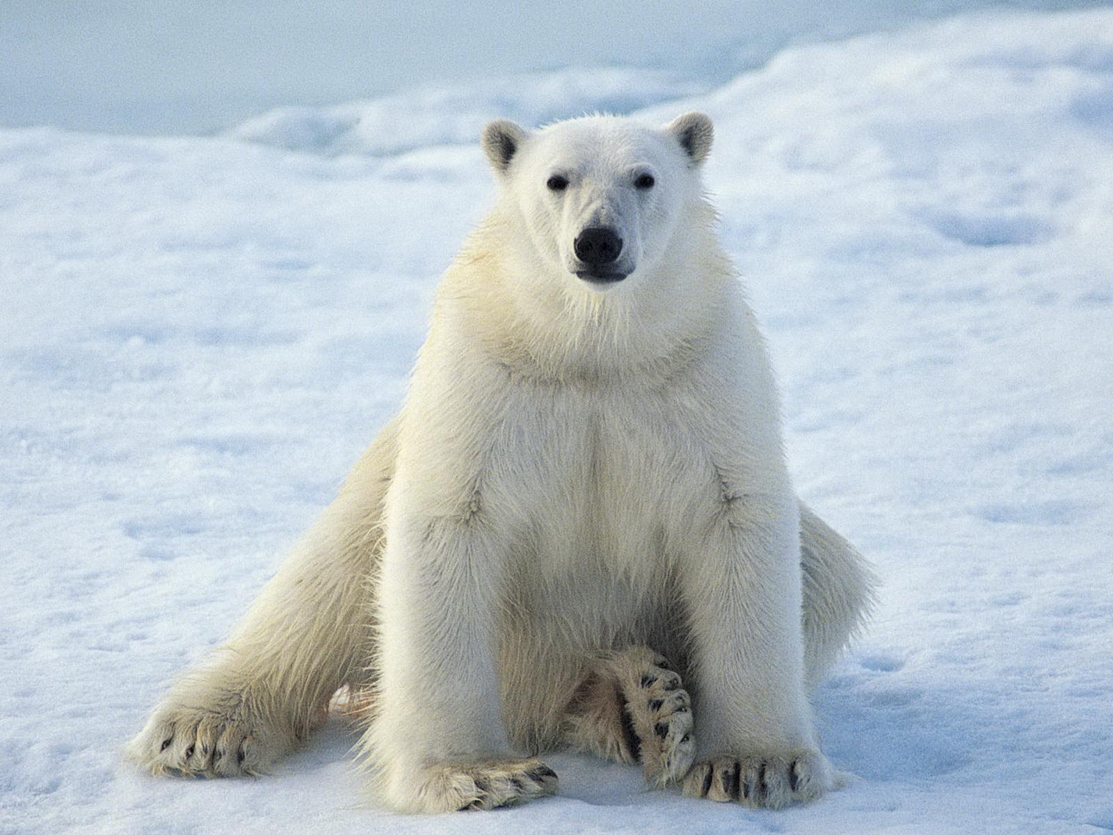 polar bear desktop wallpaper wallpapersafari. Black Bedroom Furniture Sets. Home Design Ideas