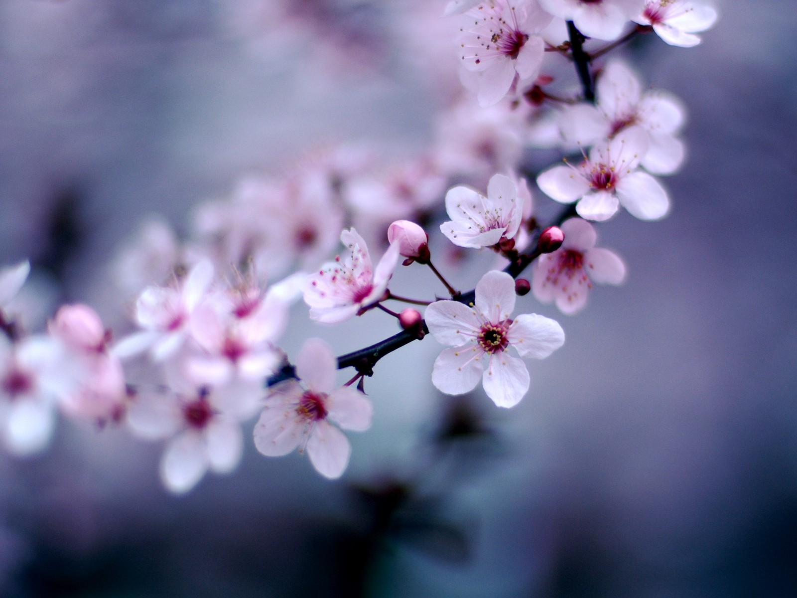 Cherry Blossom Desktop Wallpaper Preview wallcapernet 1600x1200