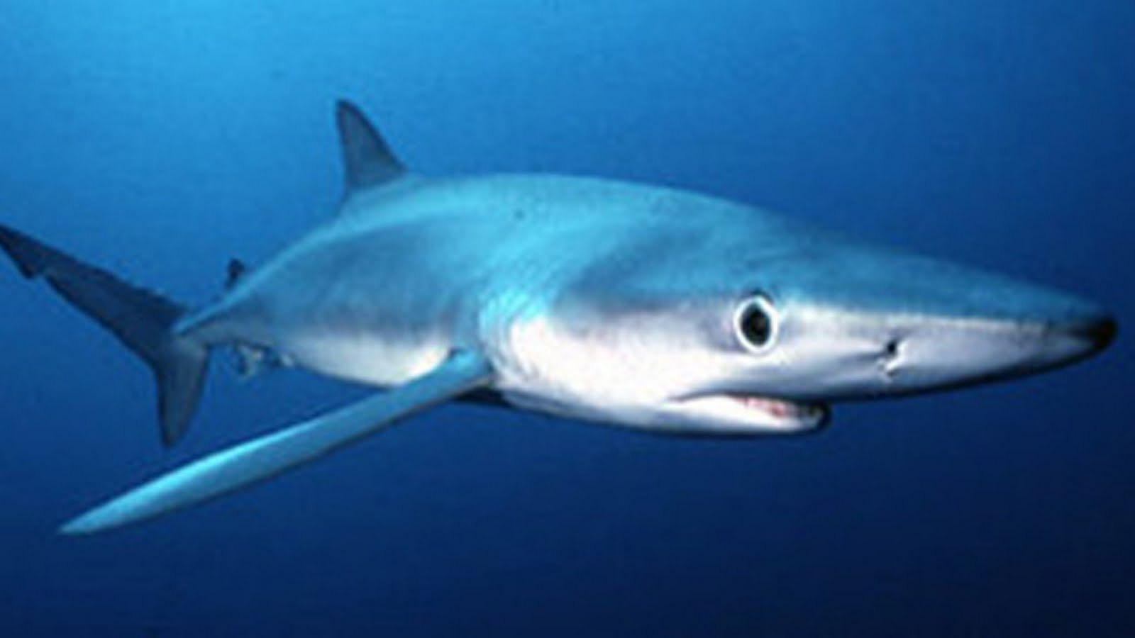 Blue Sharks Wallpapers For Iphone Sharks Shark Blue Sharks 1600x900