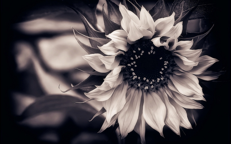 Black And White Sunflower Wallpaper