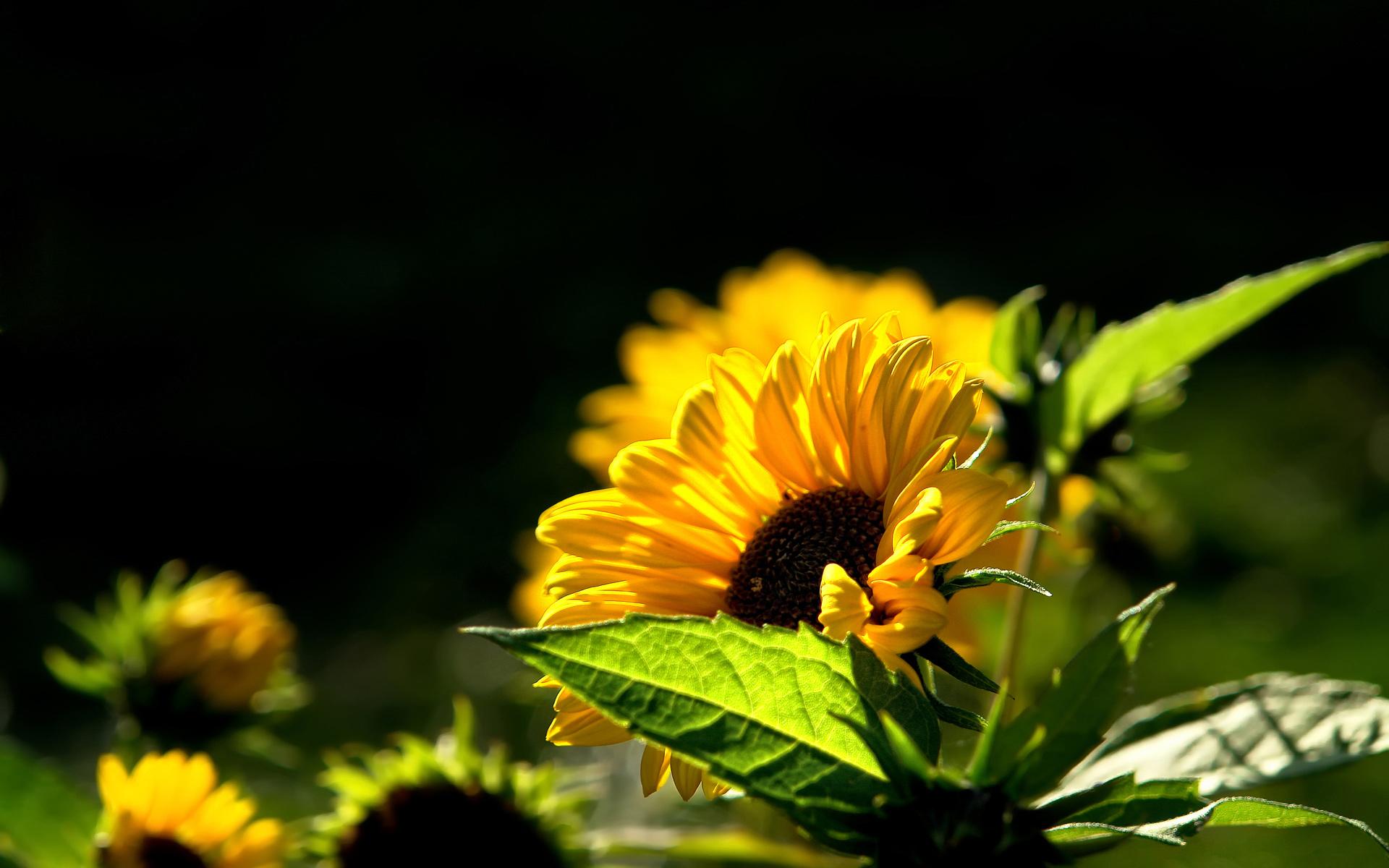 Hd wallpaper yellow flowers - Yellow Flower Wallpapers Hd Wallpapers Yellow Flower Wallpapers