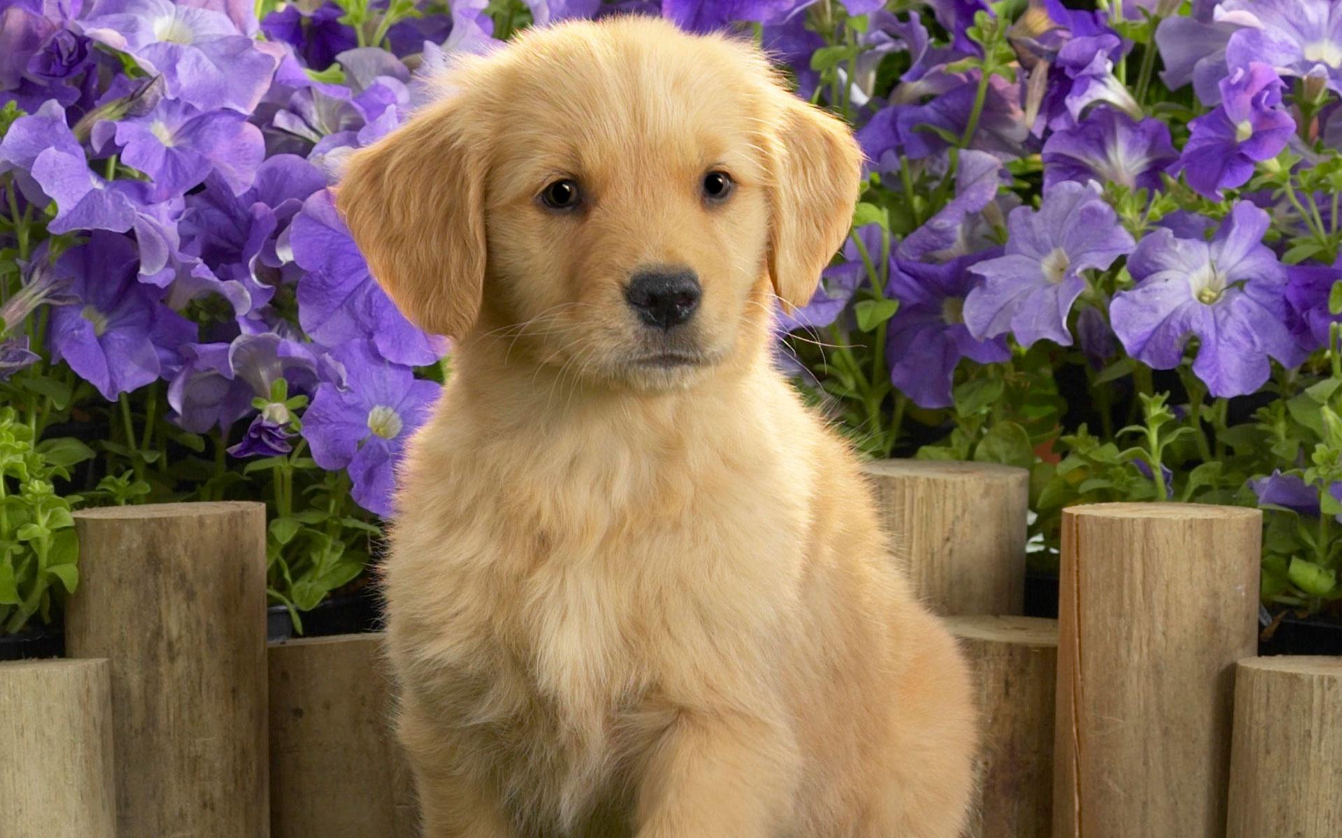 Yellow Labrador Puppy wallpaper 1920x1200