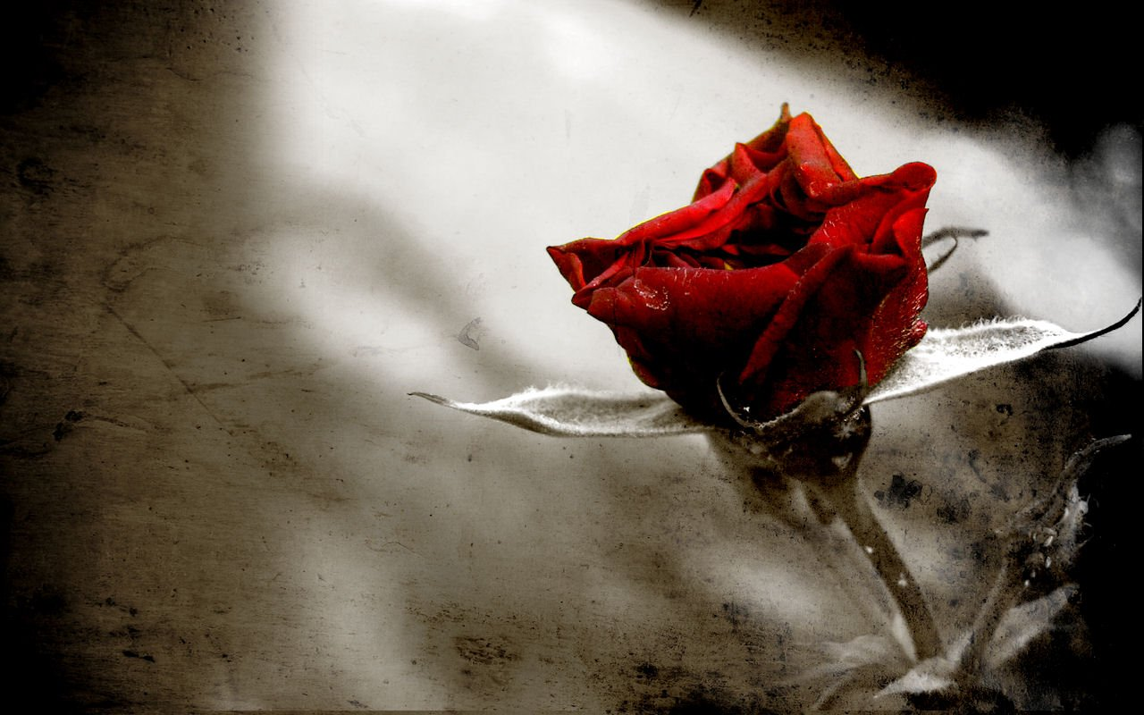Rose wallpaper for gothicEmoscene people   Gothic Photo 28180495 1280x800