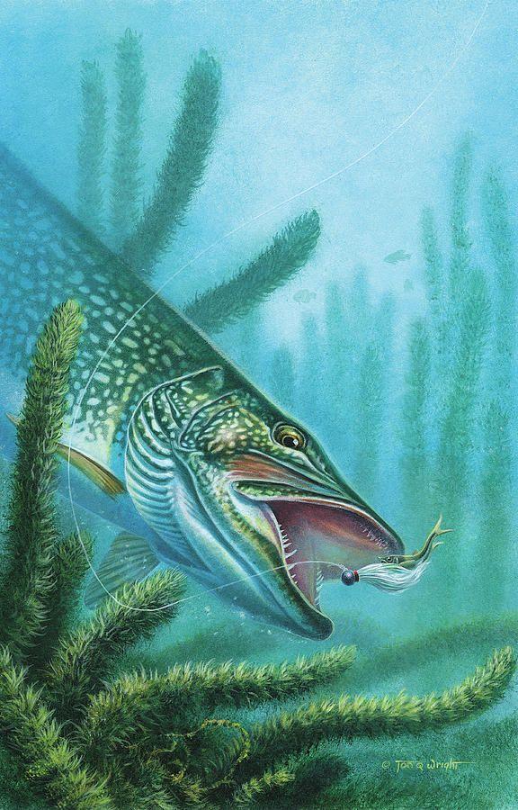 Pike Pike Musky Fish drawings Fish Fish illustration 576x900