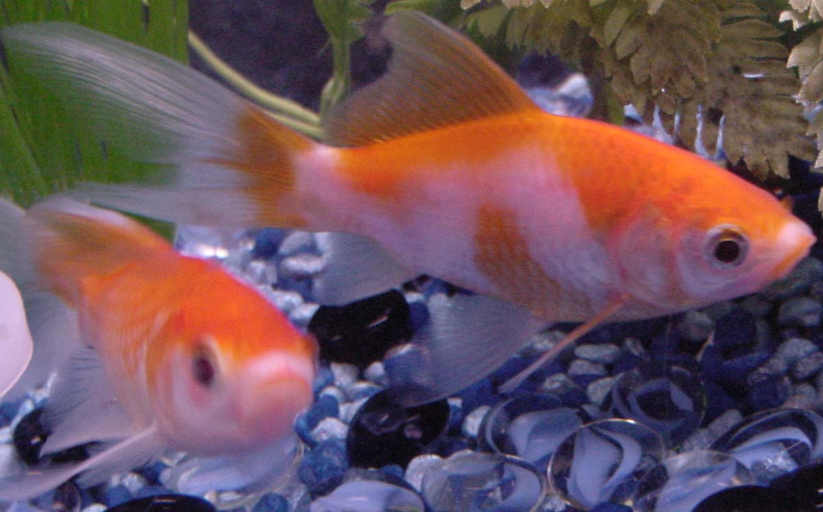 hd wallpapers of goldfish Mobile wallpapers 1199x746