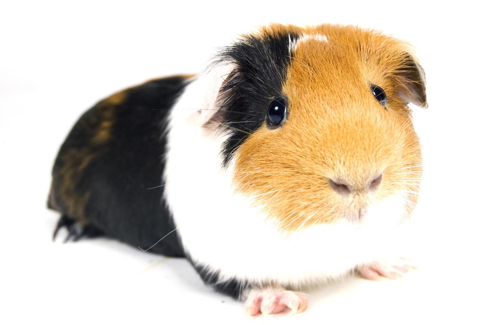 Guinea pig wallpapers wallpapersafari - Pig wallpaper cartoon pig ...