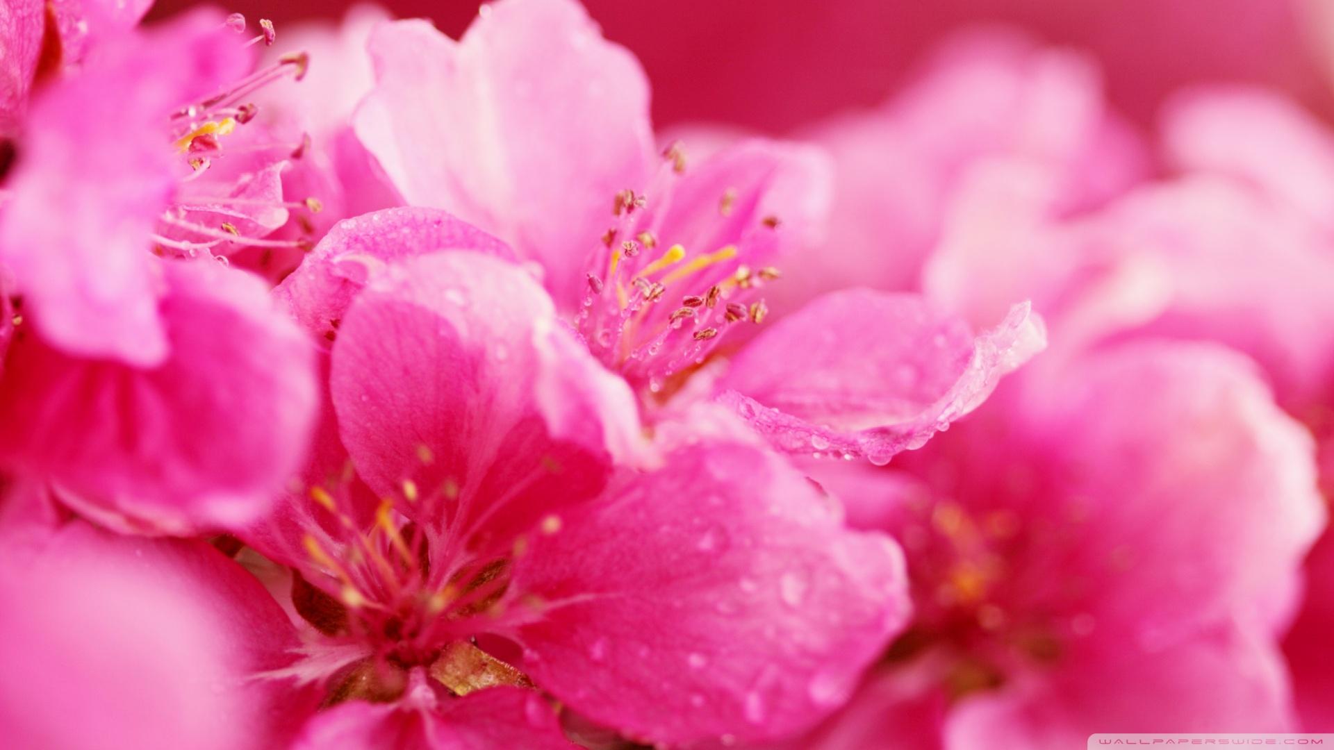 1920x1080px Pink Flower Wallpaper Wallpapersafari