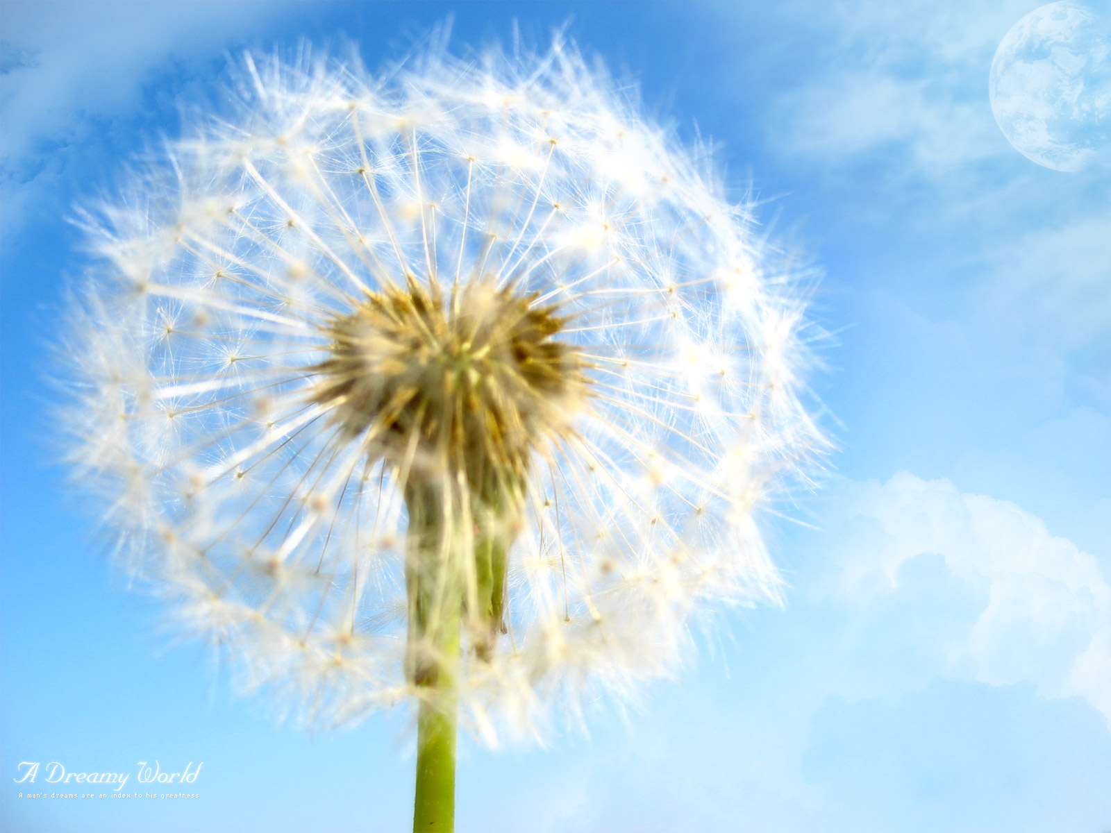 Wallpaper The Dandelion that Broadcasts Hope Wallpaper 1600x1200