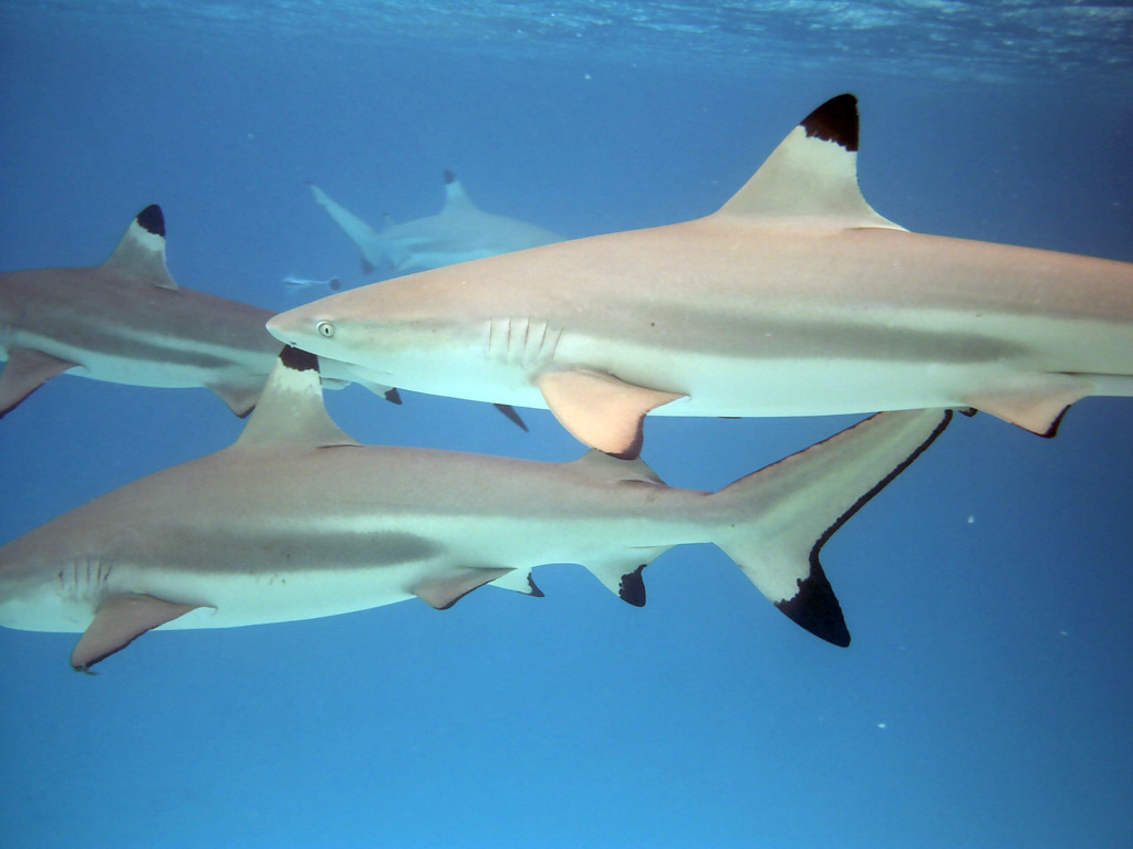 Tipped Reef Sharks Wallpapers HD Iphone Sharks Black Tipped Shark 1024x768
