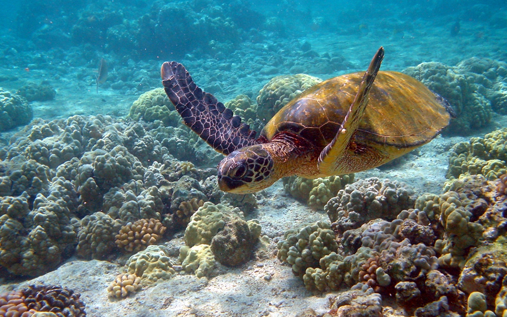 Sea turtle wallpapers and images   wallpapers pictures photos 1680x1050