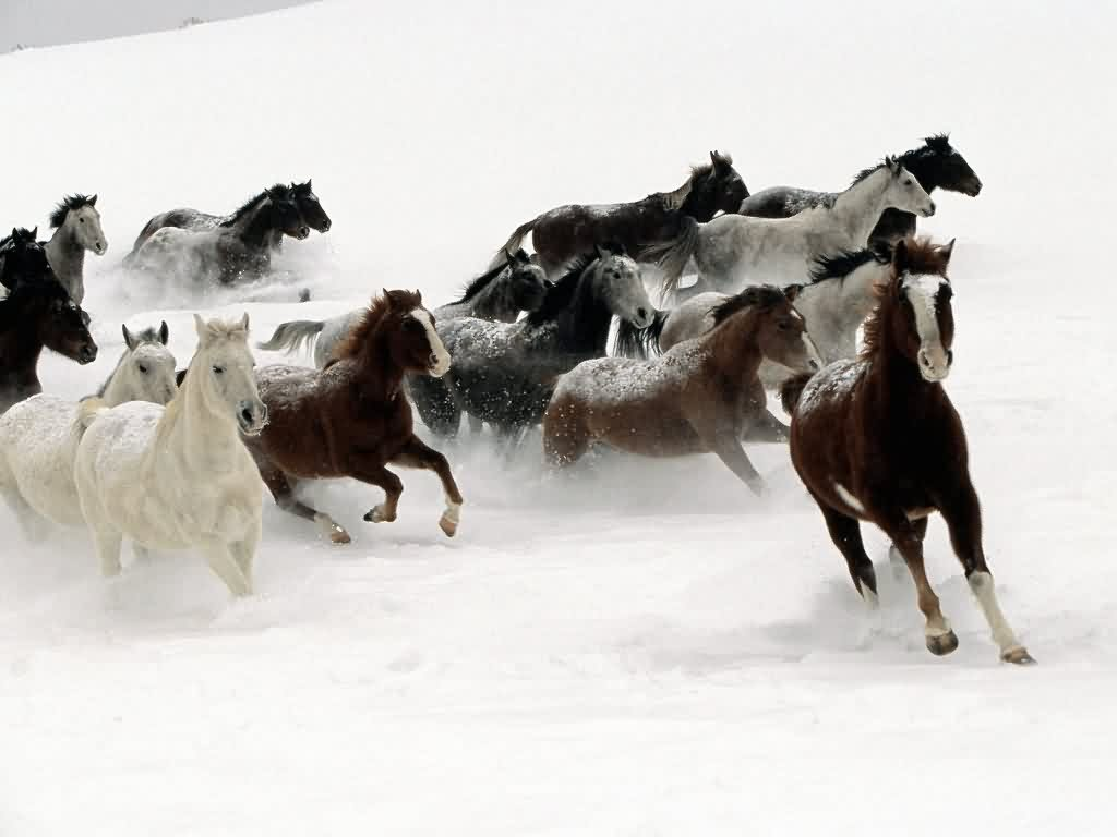 Beautiful Wallpapers wild horses wallpapers 1024x768