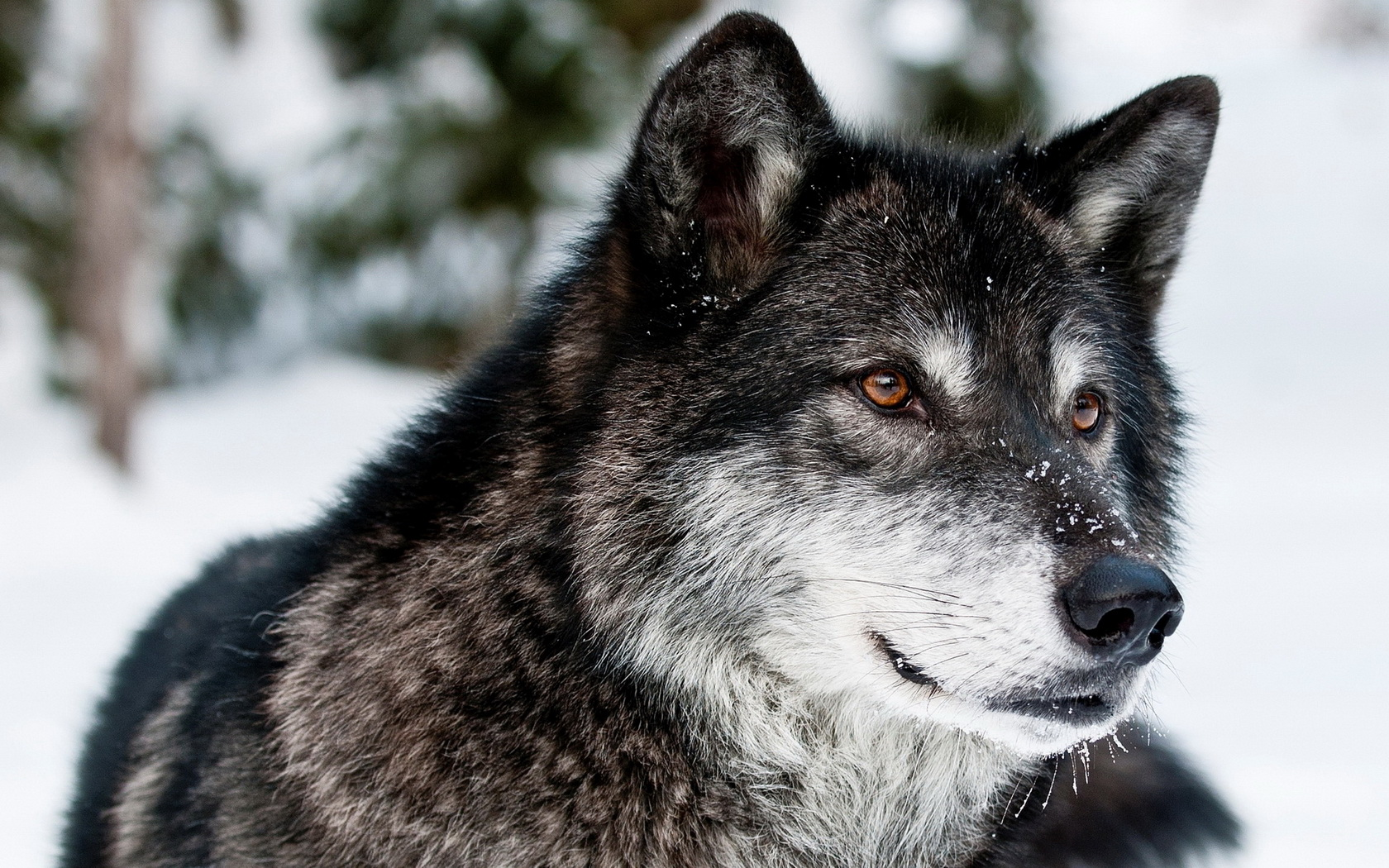 Wolf Facts and Information Wolf Wallpapers HD 1680x1050