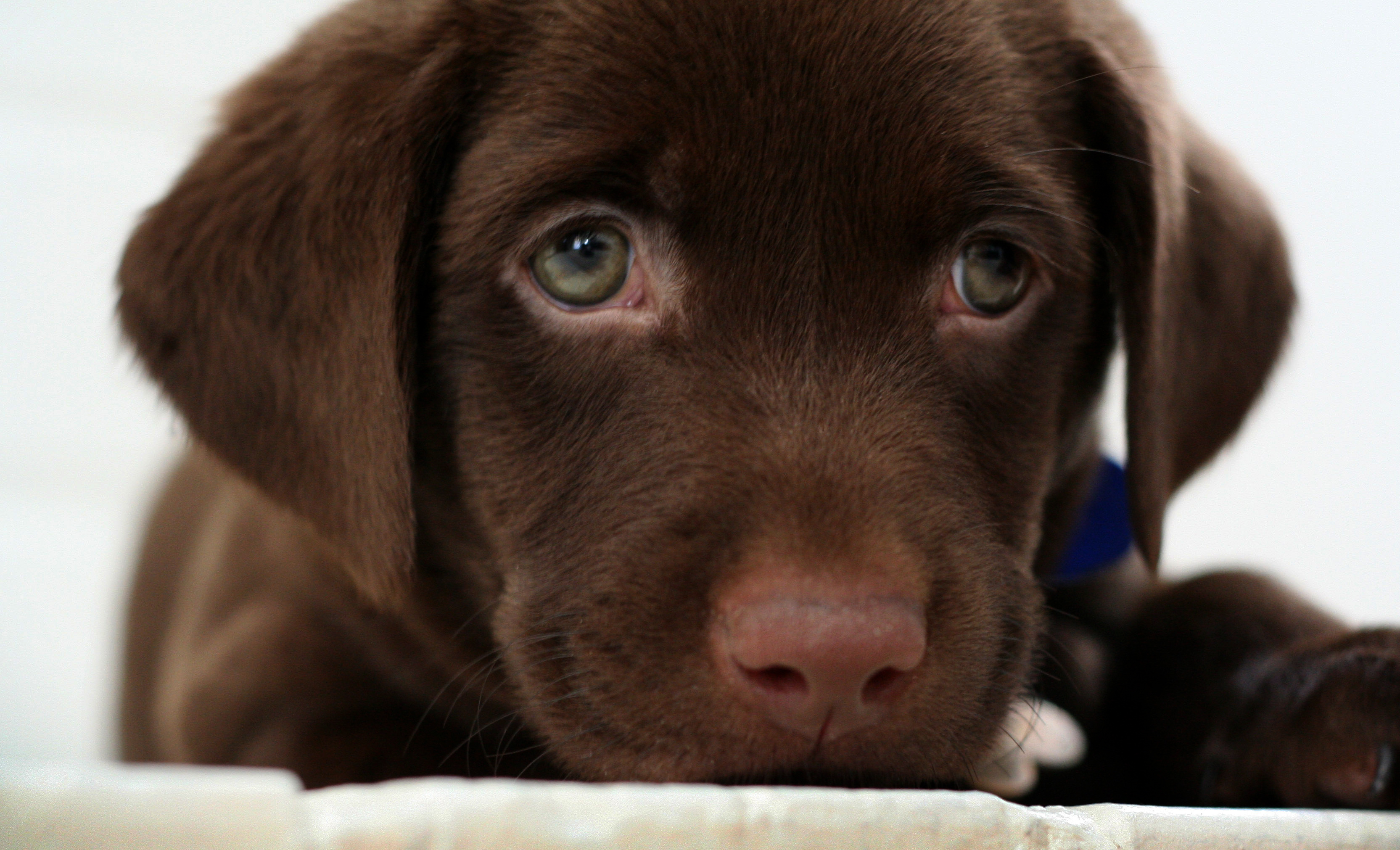 Tell me tell me What is cuter than a chocolate Lab puppy 3330x2022