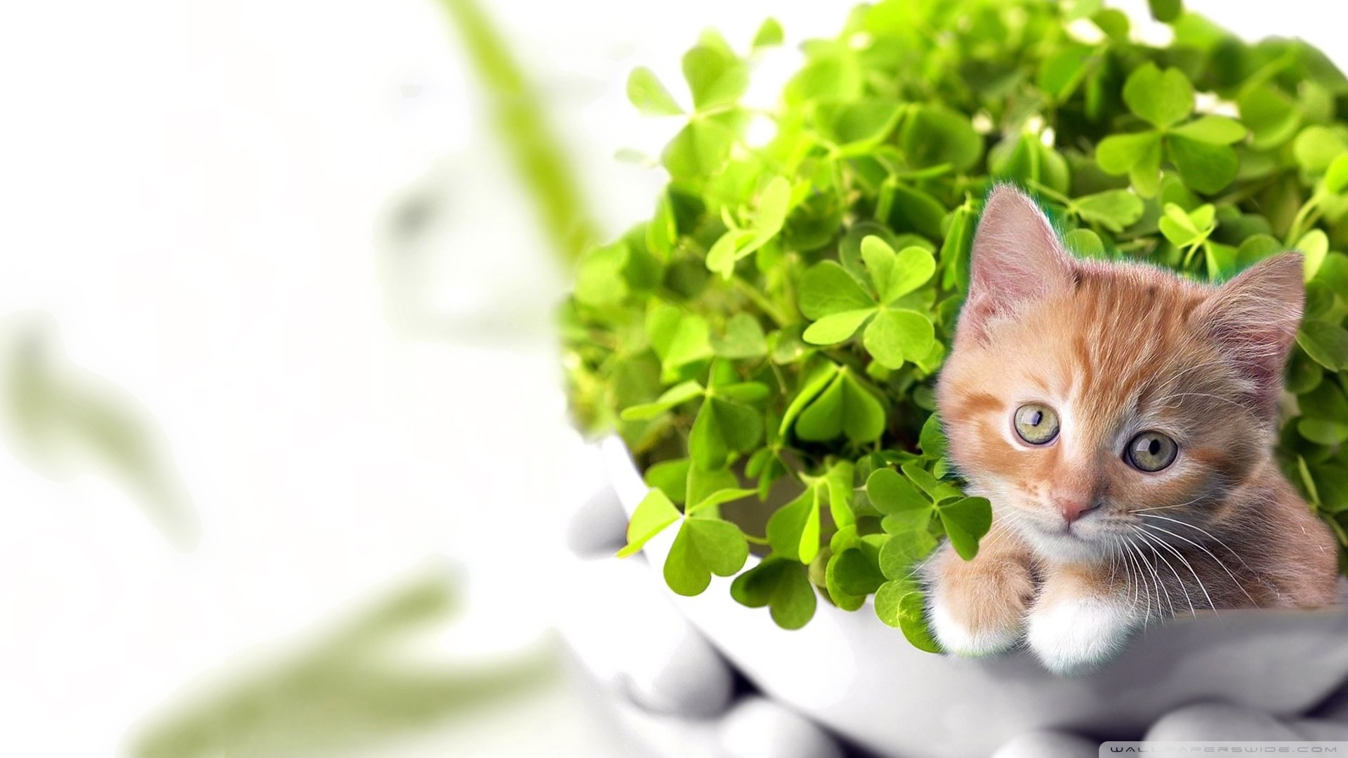 36] St Patricks Day Cat Wallpaper on WallpaperSafari 1920x1080