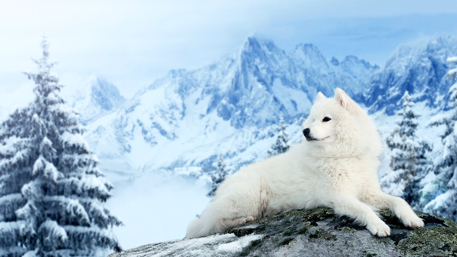 dog Samoyed Mountains Winter Snow Wallpapers HD Desktop and 1920x1080